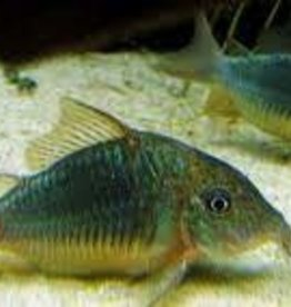 Emerald Green Corydoras Catfish (XL) - Freshwater