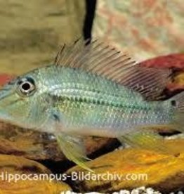 Geophagus Jurupari Cichlid - Freshwater