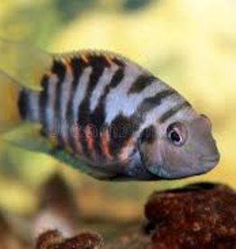 Zebra Convict Cichlid - Large - Freshwater