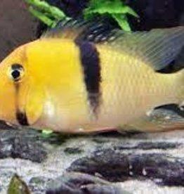 Bandit Cichlid - Freshwater