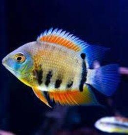 Red Shoulder Severum - Freshwater