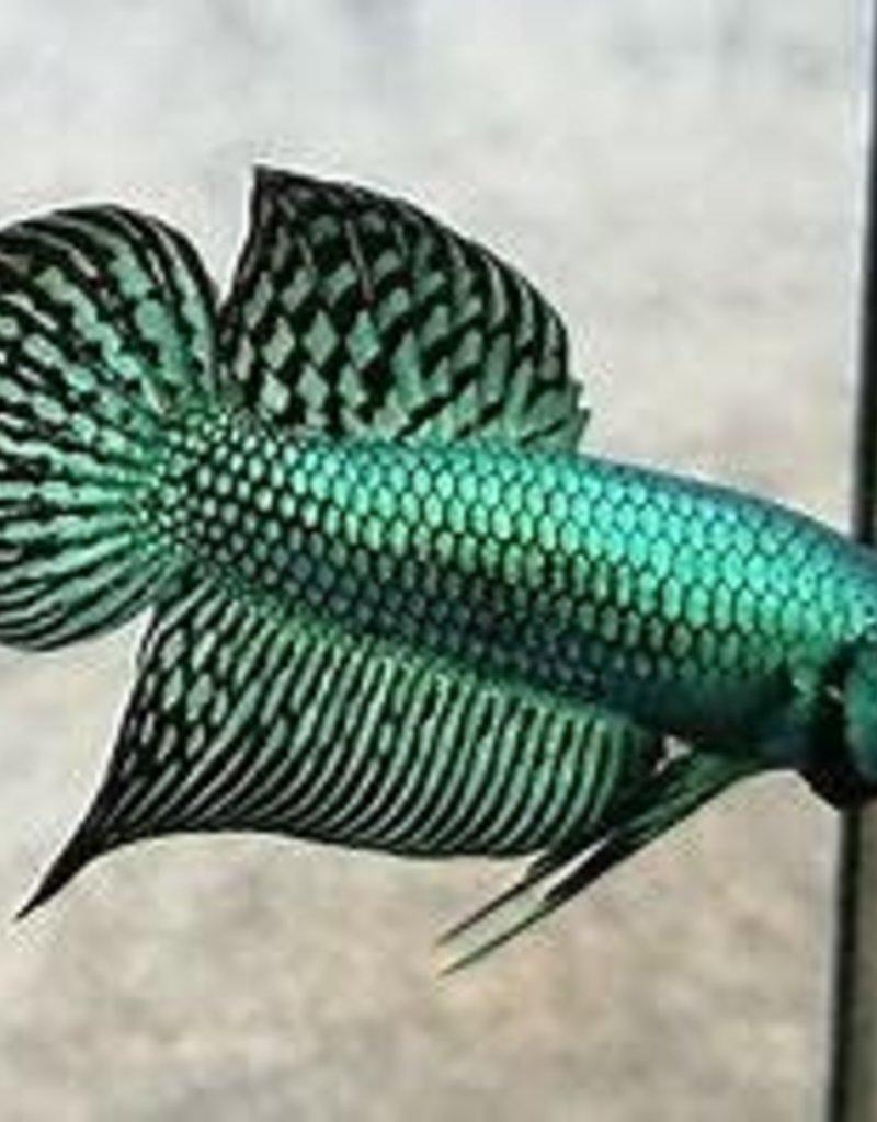 Alien Hybrid Metallic Betta - Freshwater