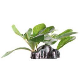 "Fluval Fluval Dwarfed Anubias - Small - 15 cm (6"") with Base"