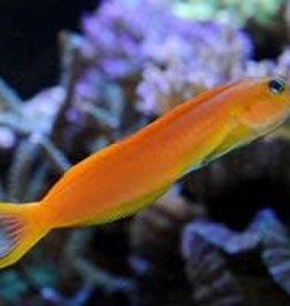 Yellow Midas Blenny XL - Saltwater