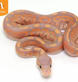 Cinnamon Banana Ball Python