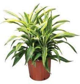 "Potted Dracaena Warnecki Plants - 4"""