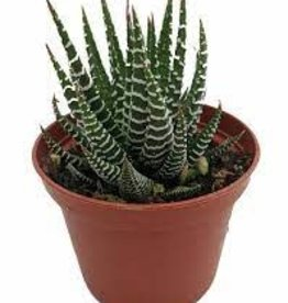 "Potted Haworthia Zebra Plants - 3"""