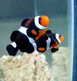 Maine Mocha Clownfish - Salt Water