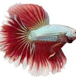 Male Betta - Freshwater
