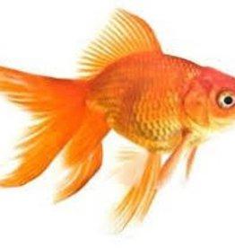 Assorted Fantail Goldfish - Freshwater