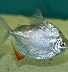 Silver Dollar Fish - Freshwater