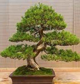"""Potted Juniper Bonsai Plants - 6"""""""