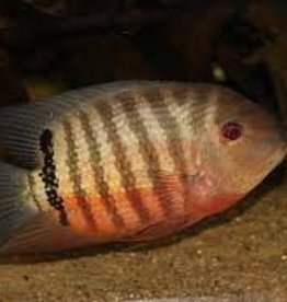 Red Mouthbrooding Severum - Freshwater