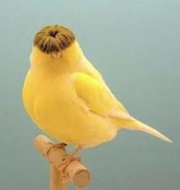 Gloster Canary - Male