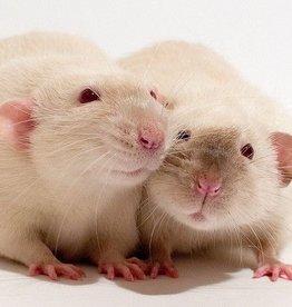 Live Fancy Rats ( Pet Adoption Pets)