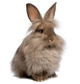 Lionhead/Floppy Ear Rabbit