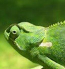 Chameleon - Senegal