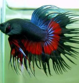 Crowntail Male Betta - Freshwater