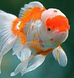 Red/White Oranda Goldfish JM - Freshwater