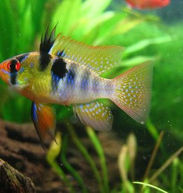 Blue German Ram - Freshwater