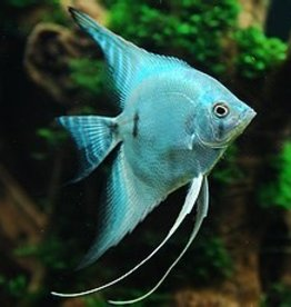 Blue Angel Fish - Freshwater