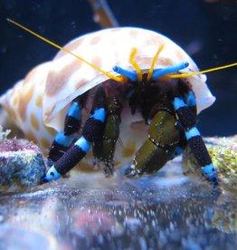 Electric Blue Leg Hermit Crab - Saltwater