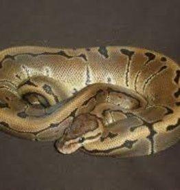 Pinstripe Python Snake