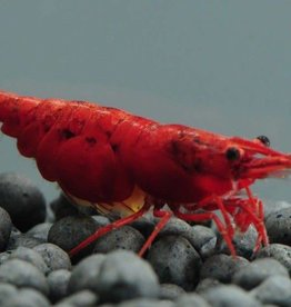 Cherry Fire Red Shrimp - Freshwater