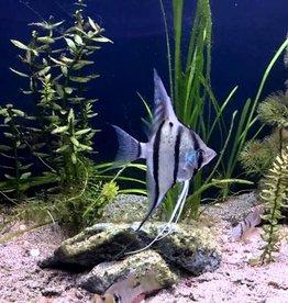 Rio Nanay Peru Angel Fish - Freshwater