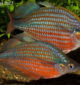 Dorityi Rainbow Fish - Freshwater