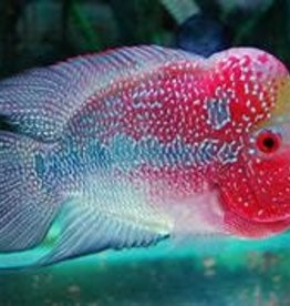 Super Red Magma Flowerhorn Cichlid - Freshwater