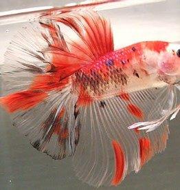 Koi Betta - Freshwater