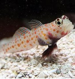 Orange Spot Goby - Saltwater