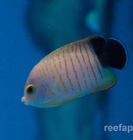 Angelfish Eibli - Saltwater