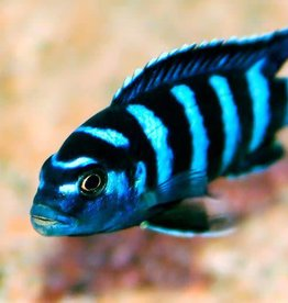 African Cichlid Demasoni - Freshwater