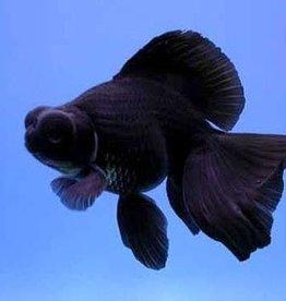 Telescope Black Moor Goldfish - Freshwater