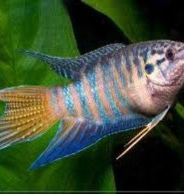 Paradise Fish - Freshwater