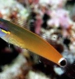 Red Tail Blenny - Salt Water Fish