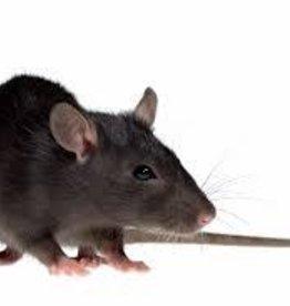 Live Feeder Rat Medium