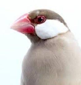Java Sparrow Fawn