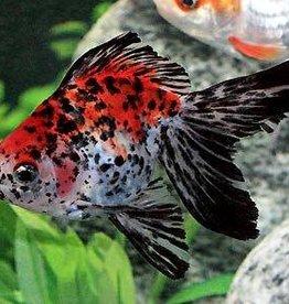 Calico Fantail Goldfish Large- Freshwater