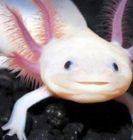 Axolotl - Freshwater