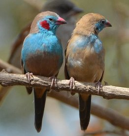 Cordon Blue Red Cheek Bird