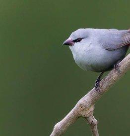 Lavendar Waxbill Bird