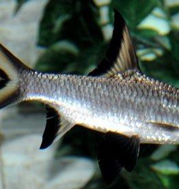 Bala Shark Large - Freshwater