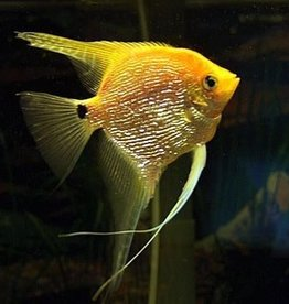 Angel Fish XL - Freshwater