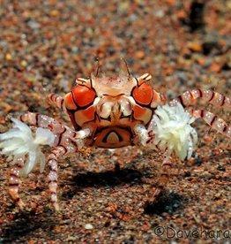 Pom Pom Anemone Crab - Saltwater