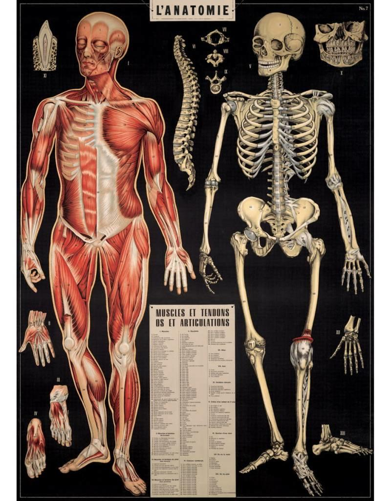 Cavallini L'Anatomie Print