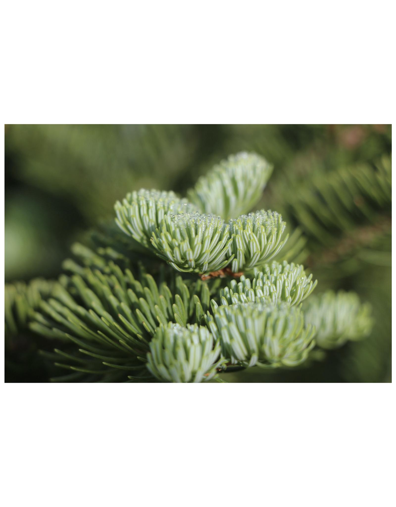 Living Christmas Tree Seed Grow Kit