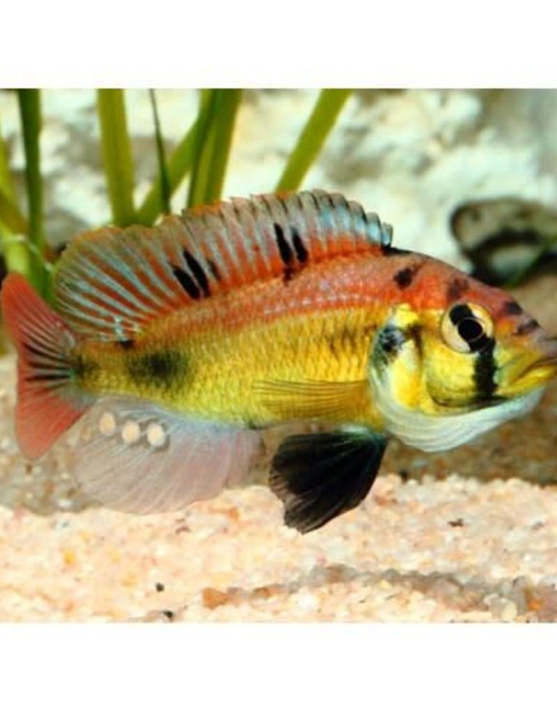 "ASTATOTILAPIA ANEOCOLOR ""YELLOW BELLY"""